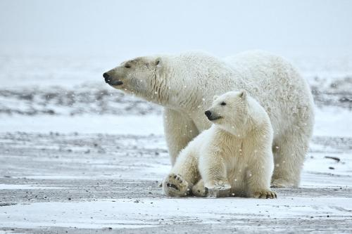 Polar bears give birth to their cubs in dens on the coastal plain of the Arctic National Wildlife Refuge - Photo Credit -  Wikimedia Commons