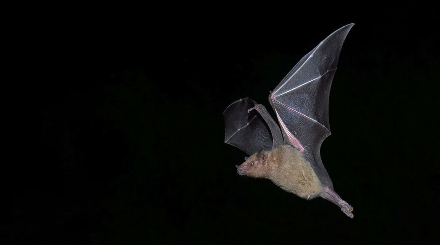 Long-nosed bat