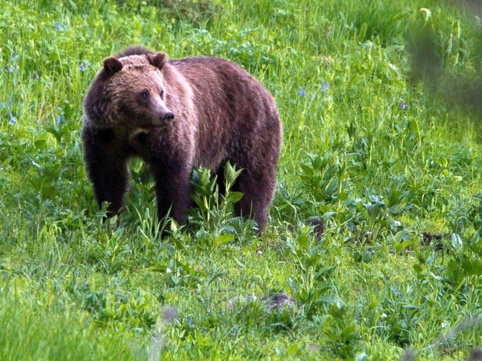 Grizzly bear in Yellowstone - Jim Urquhart/AP, FILE via ABC News